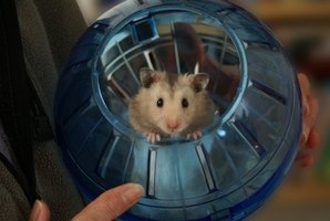 Hamsters are friendly, playful pets.