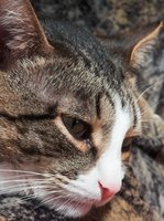 An ear infection in a cat can lead to Horner's syndrome.