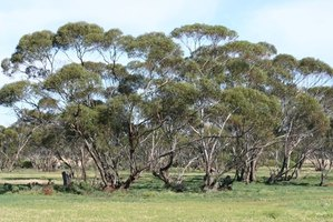 Eucalyptus trees reproduce in several ways.