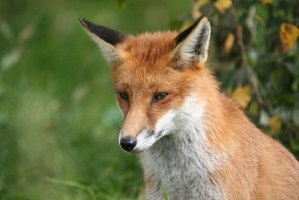 Do Foxes Eat Both Plants & Animals? | eHow