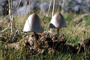 Some white mushrooms found on lawns are poisonous.