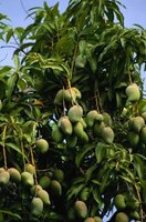 A high-yield mango tree.
