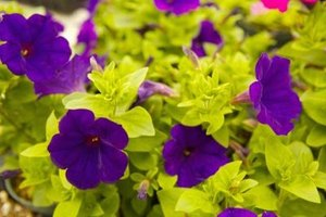 Petunias are susceptible to a variety of fungus problems.