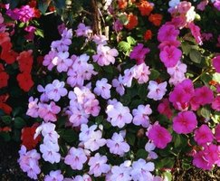 Impatiens are an ideal  potted plant for a shaded porch.