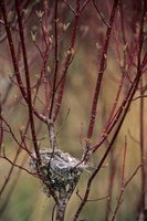 Red twig dogwood provides winter interest in the Illinois landscape.