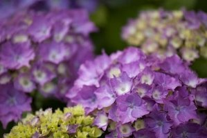 Hydrangeas thrive in morning sun and afternoon shade.