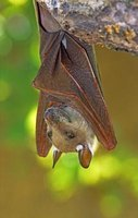 There are almost 1,000 different species of bats found around the world.
