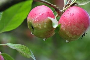 Apple trees are grown on a variety of trees due to years of cross pollinations.