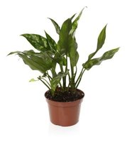 Musty smelling houseplants are usually overwet.