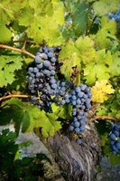 Red or black grapes are used to make red wine.