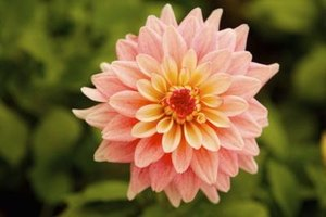 A dahlia's summer blossoms range in size from 2 to 10 inches in diameter.