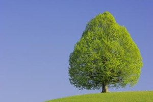 Lime trees can grow up to 20 feet tall.