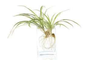 A healthy spider plant will produce new plants.