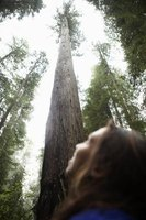 Redwood trees are the tallest plants on Earth.