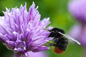 This European bumblebee, all black except for two red tail segments, could belong to any of seven species.