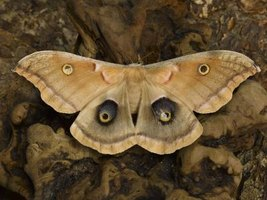 Moths are commonly found in the evening fluttering around outdoor lights.