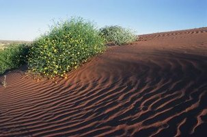 Australia's striking Simpson Desert is home to a variety of distinctive flora.