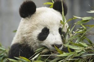 Pandas primarily eat bamboo, though it is not particularly nutritious.
