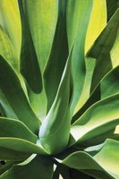 The leafy agave plant