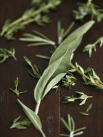 A healthy sage plant should have full, unfurled leaves.