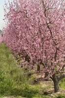 Peach trees in spring bloom