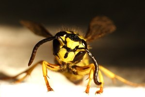 Wasp and hornet colonies typically die in the winter, not migrate.