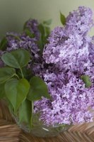 Keep lilacs trimmed to promote regular flowering.