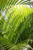 Certain types of palm tree seeds are toxic.