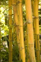 Some species of bamboo grow very tall and are extremely strong.