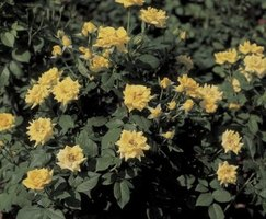 Groundcover roses are attractive and functional landscape plants.