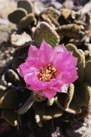 Flowering cacti bring color to the driest landscapes.