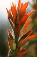 Indian paintbrush is among the many flower species that grow around volcanoes.