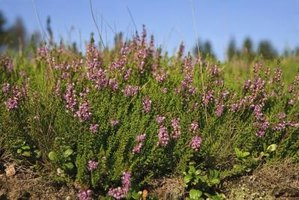 Heather flowers symbolize a change from the mundane to the extraordinary.