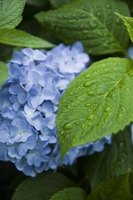 Blue hydrangea can play host to white bugs.