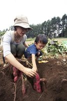 Help your child to grow a sweet potato vine at home.
