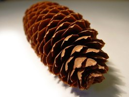 Brown pinecones means the seeds are ripe.