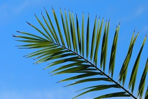 Palm leaf use by humans dates to ancient Mesopotamian civilization.