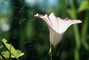 Recognize bindweed by its morning glory flower.
