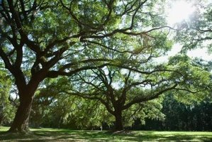 Oak trees provide spectacular shade.