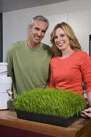 Wheatgrass can grow from seed to use in eight days.