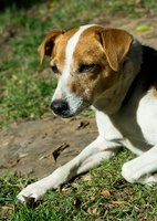 Jack Russells make great companions, but need plenty of exercise and stimulating activities.