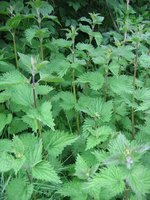 Bull nettles can cause itching, burning and swelling on the skin.