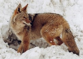 Coyotes can carry mange, and can infect pets.
