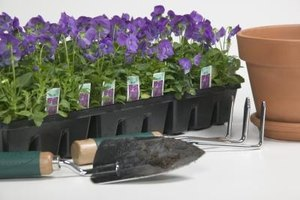 Propagate a Purple Passion Plant