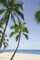 The coconut palm can live 80 years or longer.