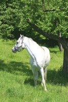 The Arabian is an intelligent, eager and social horse.