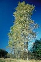 Poplar trees require large amounts of water to sustain their rapid growth.