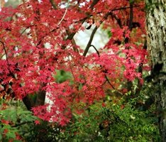 Healthy Japanese maple
