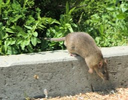 Wild rats and mice can contaminate food and carry disease.