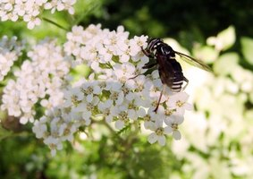 You will find the paper wasp on flowers in Michigan.
